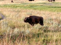 婴孩北美野牛(水牛城)在黄石 库存图片