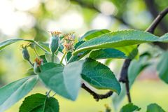 婴孩卵巢苹果 从事园艺, DIY,果树栽培没有GMO,自然和公共事业的概念 免版税库存照片