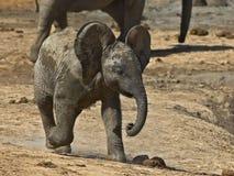 婴孩厚颜无耻的大象 库存照片