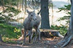 婴孩在冰川国家公园的两Medicines湖地区的大角野绵羊在蒙大拿美国 库存图片