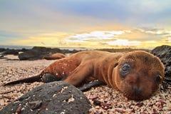婴孩在加拉帕戈斯群岛休息的海狮 免版税库存照片