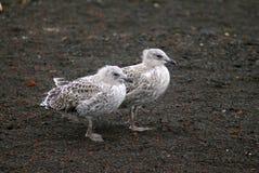 婴孩在欺骗岛,南极洲的海带鸥 库存照片