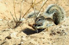 婴孩地松鼠在Kgalagadi境外国家公园 免版税库存照片