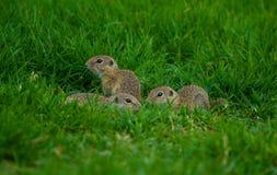 婴孩地鼠接近的射击坐草 免版税库存照片