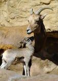 婴孩大角野绵羊和母亲 库存图片