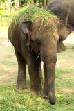 婴孩大象在头上把草放 免版税库存图片