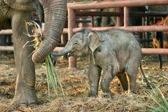 婴孩大象在有母亲的动物园里 免版税库存照片