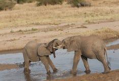 婴孩大象朝向锁着的战斗 免版税库存图片
