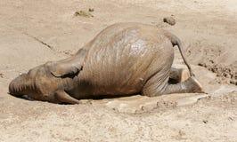 婴孩大象滚在泥和水中 免版税库存图片