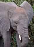 婴孩大象的题头详细资料  库存照片