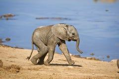 婴孩大象运行 免版税库存图片