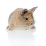婴孩头发长的兔子 免版税库存图片