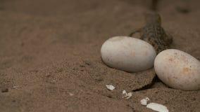 婴孩奥里诺科河Croc爬行在鸡蛋的,Wisirare动物园 股票视频