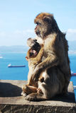 婴孩她的妈妈猴子 库存照片