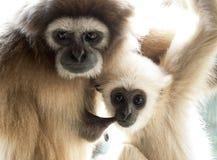 婴孩家神长臂猿,长臂猿家神,吮他的母亲,看照相机的两个 免版税图库摄影