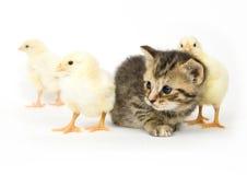婴孩小鸡小猫 免版税图库摄影