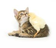 婴孩小鸡小猫 免版税库存图片