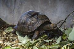 婴孩巨型草龟的画象 免版税库存照片