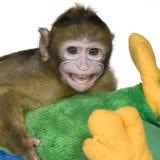 婴孩巴贝里猕猴属短尾猿 免版税图库摄影