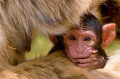婴孩巴贝里macacus短尾猿sylvanus 库存图片