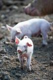 婴孩愉快的猪 库存图片