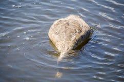 婴孩戏水黑天鹅的小天鹅在浅水区池塘栖所的焦点和主要从水的表面哺养 免版税库存照片