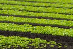 婴孩散叶莴苣种植行沙拉 免版税图库摄影
