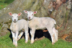婴孩新出生的逗人喜爱的羊羔 免版税图库摄影