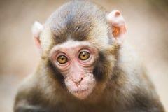 婴孩日本人短尾猿的特写镜头 免版税库存照片