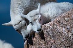 婴孩显示喜爱的石山羊羊羔 免版税图库摄影