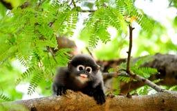 婴孩暗淡的叶猴 免版税库存图片