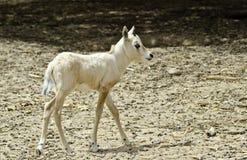 婴孩有角的leucoryx羚羊属 免版税库存图片