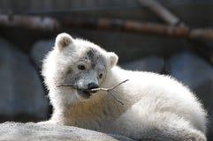 婴孩极性熊的俘虏 免版税库存照片
