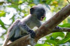 婴孩桑给巴尔红色疣猴或Procolobus kirkii 库存照片