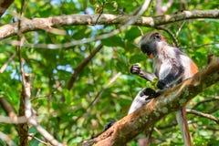 婴孩桑给巴尔红色疣猴或Procolobus kirkii 免版税库存照片