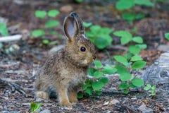 婴孩棕色野兔或兔宝宝在森林地板上 免版税库存图片