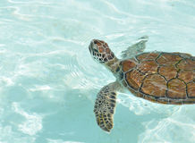 婴孩海运游泳乌龟 免版税库存图片