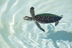 婴孩海运游泳乌龟 库存图片