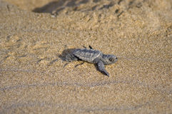 婴孩海龟愚人海龟 库存图片