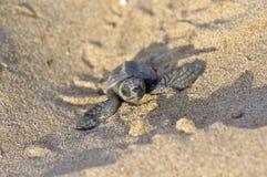 婴孩海龟carretta愚人海龟 免版税库存图片