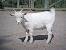 婴孩滑稽的山羊白色 免版税库存照片