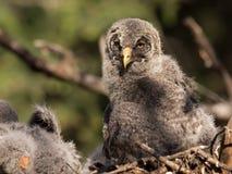 婴孩灰色极大的猫头鹰 库存图片