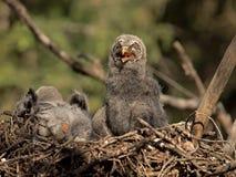 婴孩灰色极大的猫头鹰 免版税库存图片