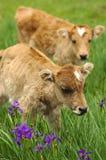 婴孩牦牛 库存照片