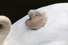 婴孩疣鼻天鹅 免版税库存照片