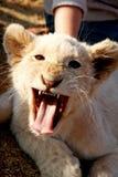 婴孩空白狮子在南非 免版税库存照片