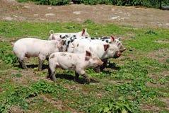 婴孩组猪 库存图片