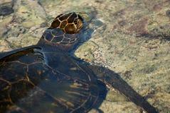 婴孩绿浪乌龟 免版税库存图片