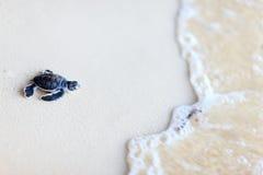 婴孩绿海龟 免版税库存照片