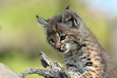 婴孩美洲野猫 库存图片